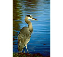 Along The Shores A Magestic Blue Heron Stands Still Photographic Print