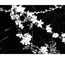 Flowering Hedge2 Photographic Print