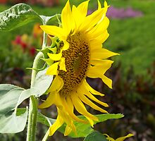 Sunflower by Peter Walters