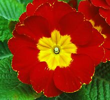 Perfect Primrose by Mark Wilson