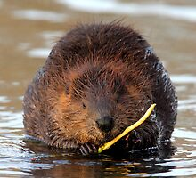 Beaver Closeup by Herbie