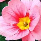 Pink Primrose by Mark Wilson