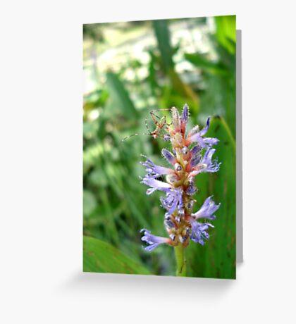 Handsome Meadow Katydid Nymph on Pickerel Weed Greeting Card
