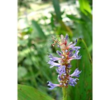 Handsome Meadow Katydid Nymph on Pickerel Weed Photographic Print