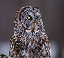 Great Grey Owl - Dunrobin Ontario by Michael Cummings