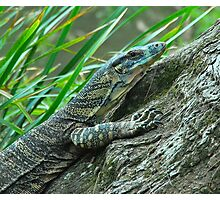 Goanna in Profile Photographic Print