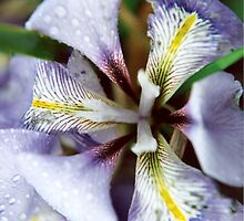 Morning Dew Drops Upon The Iris by Shawnna Taylor
