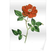 Vintage Red Rose Isolated on White Poster