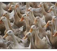 quack quack by hbrodsly