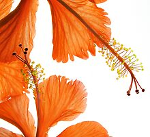 Hibiscus Falling by AnnieD