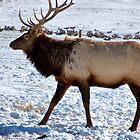 Royal Elk in Jackson, Wyoming by Nancy Richard