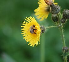 Bee On A Yellow Flower by Anton Perrins