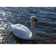 Swan At The River Photographic Print