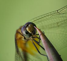 Dragonfly hanging on in the wind by Meng Foo Choo