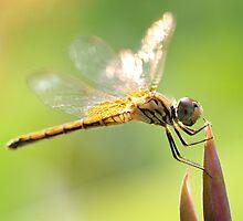 Fairy dragonfly by Meng Foo Choo