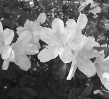 Blooming Azaleas by Sianna