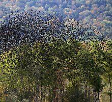 Helderberg blackbirds by artsMark