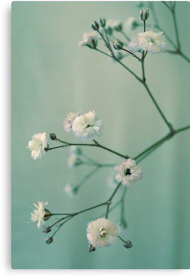 Gypsophila by AnnieD