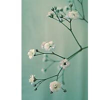 Gypsophila Photographic Print