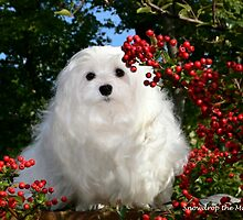 Snowdrop the Maltese & Red Berries by Morag Bates