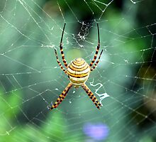 Argiope trifasciata topside by Shelley Heath