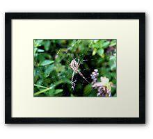 Argiope trifasciata underbelly Framed Print