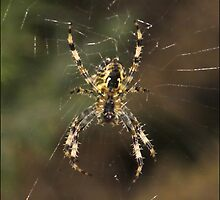 Garden Spider  by SWEEPER