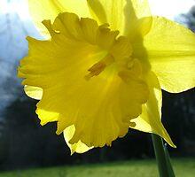 Daffodil 2 by kell24