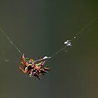 Thorny looking spider building web by John Hansen