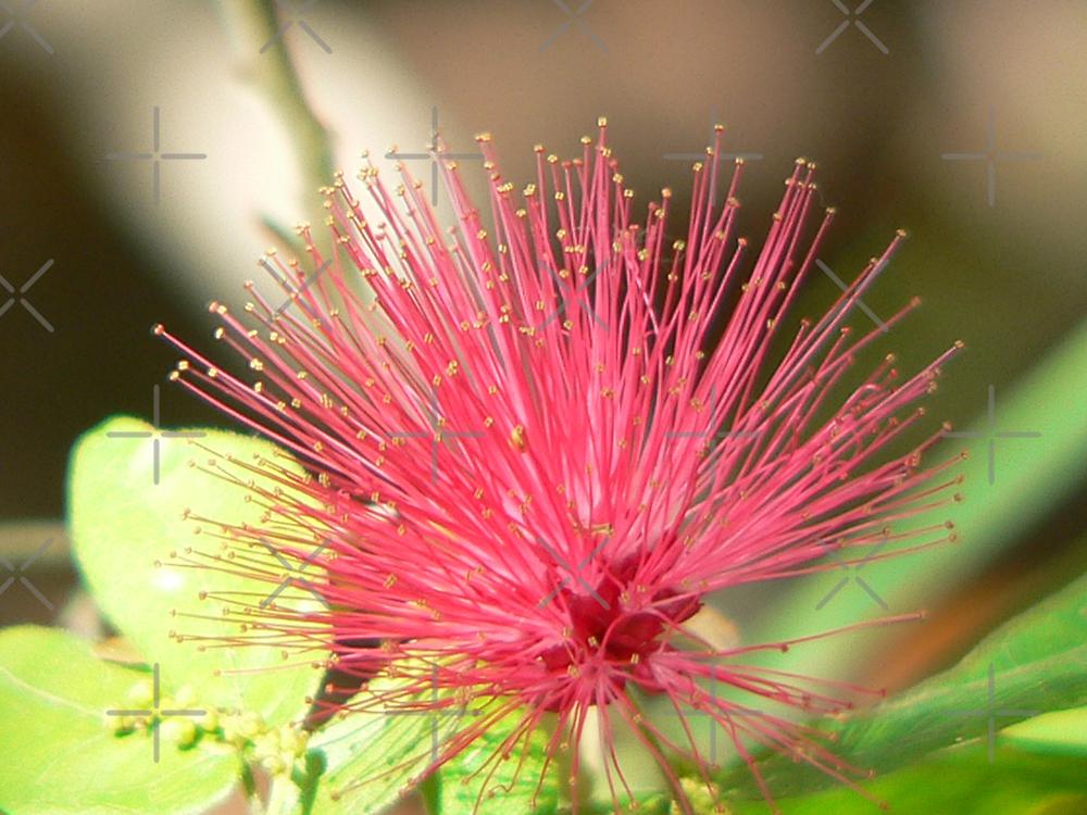 Bottle Brush Flower by kevint