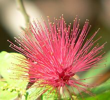 Bottle Brush Flower by kevint