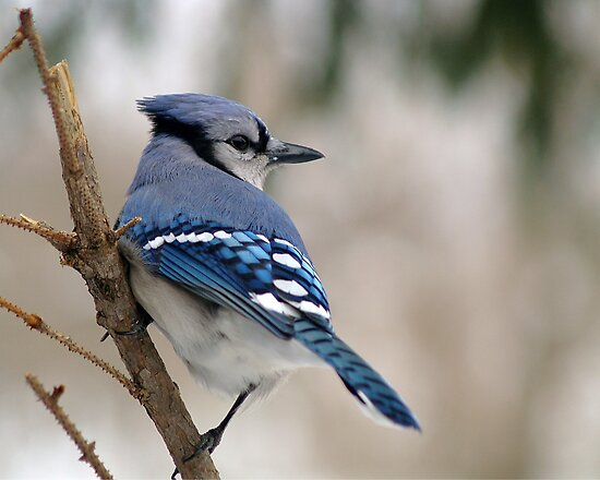 Blue Jay by Gaby Swanson  Photography