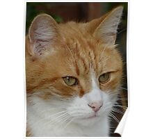 Ginger Tom Poster