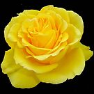 Beautiful Yellow Rose Flower on Black Background by taiche