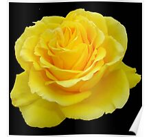 Beautiful Yellow Rose Flower on Black Background Poster
