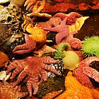 Sea Anemones & Star Fish Oregon Coast by Marylamb
