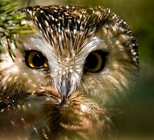 Northern Saw Whet Owl by Michael Cummings