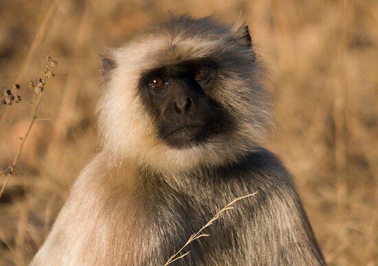 Langur Monkey by Steve Bulford