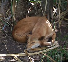 Dingo Dreaming by Sally Howarth