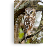 Northern Saw Whet Owl - Amherst  Island, Ontario Metal Print