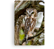 Northern Saw Whet Owl - Amherst  Island, Ontario Canvas Print