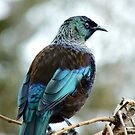 Iv'e A Lace Collar & No Pink Tights!!! - Tui - NZ  by AndreaEL