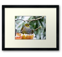 She's Sitting In An Apple!! Silver-Eyes - NZ Framed Print