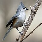 Titmouse by Gaby Swanson