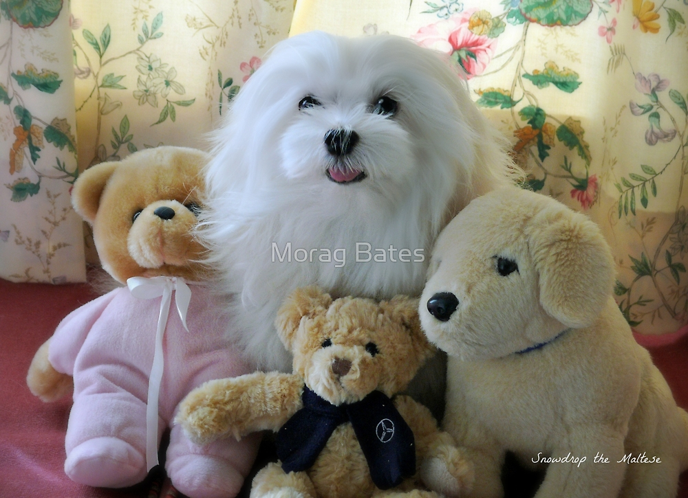 """Snowdrop the Maltese - ""Say Cheese Everyone"" ! by Morag Bates"