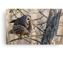 Barred Owl with Prey - Brighton, Ontario Canvas Print