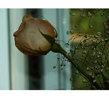 rose in twighlight Photographic Print