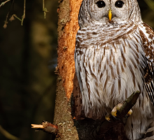 Barred Owl in Pine Tree -  Brighton, Ontario Sticker