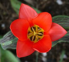Red Tulip by Sarah McKoy
