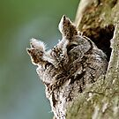Screech Owl - Ottawa, Ontario by Michael Cummings